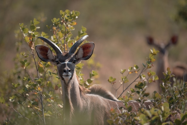 Kudu mirando entre las ramas