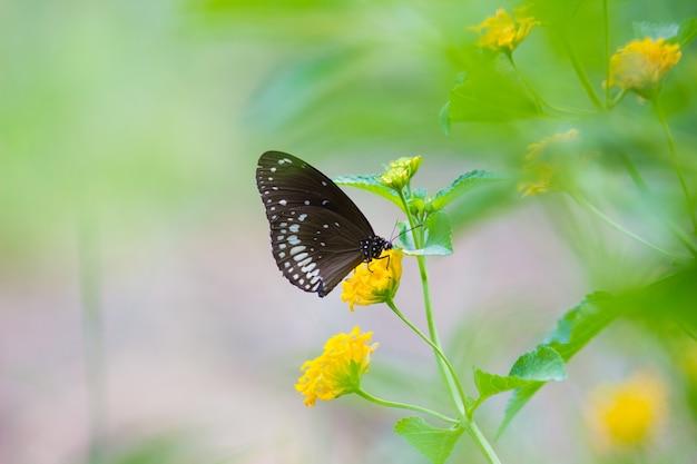 La mariposa común del cuervo