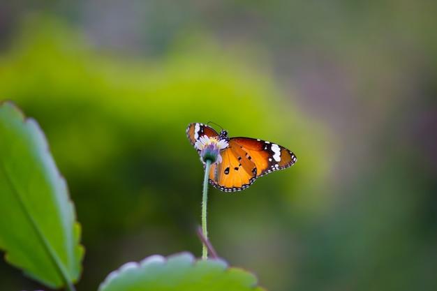 La mariposa del tigre llanura