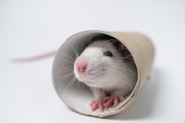 Laboratorio rata jugar con tubo
