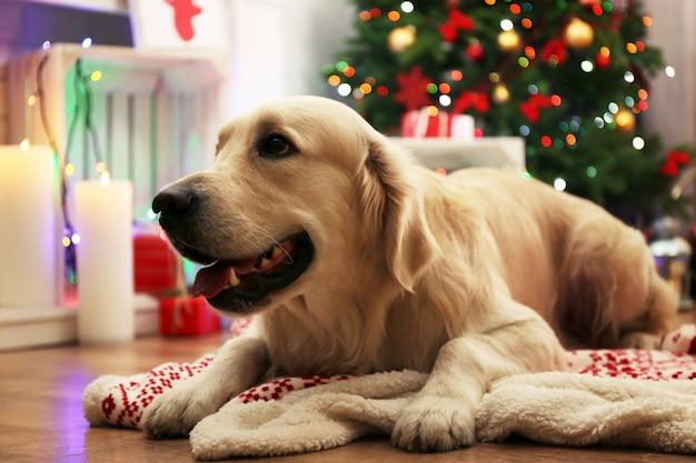 Labrador acostado en cuadros sobre un piso de madera y fondo de decoración navideña