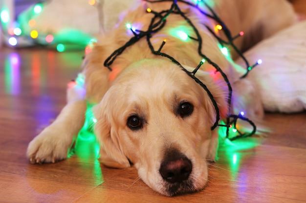 Labrador acostado con guirnalda sobre piso de madera y fondo de decoración navideña