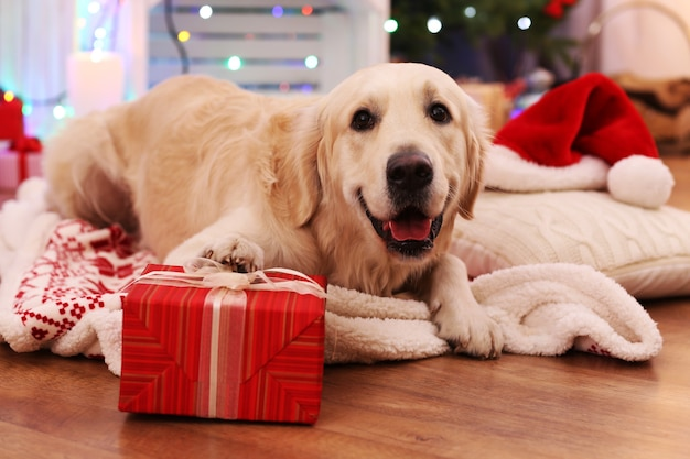 Labrador acostado sobre cuadros con caja actual sobre piso de madera y decoración navideña