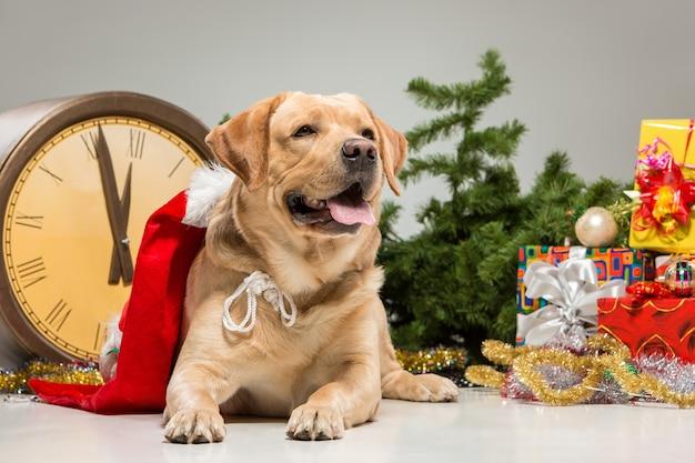 Labrador con gorro de papá noel y una guirnalda de año nuevo y regalos. decoración navideña aislada sobre un fondo gris
