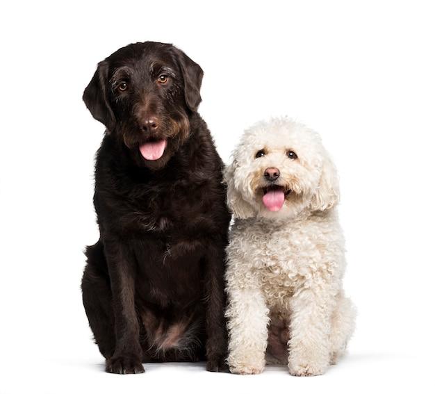 Labrador y maltés sentado contra el fondo blanco.