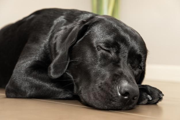 Labrador negro joven durmiendo en el suelo