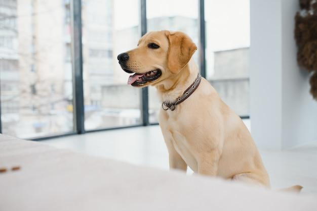 Labrador retriever está tirado en el suelo en casa