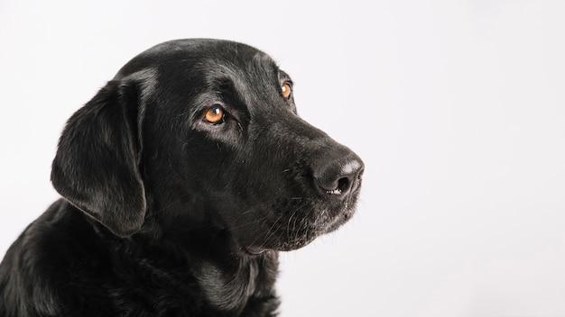 Labrador tranquilo en el fondo blanco