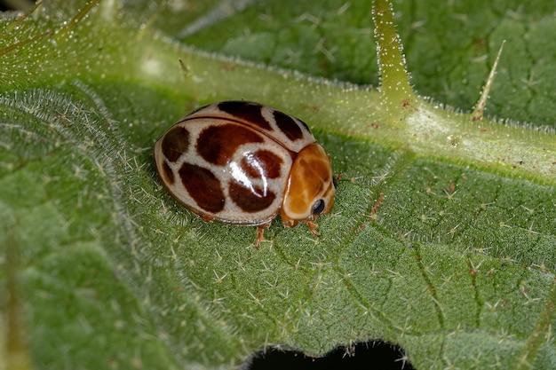 Lady beetle común adulto de la especie cycloneda conjugata