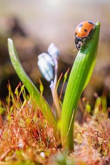 Ladybug en una hoja de la flor azul. paisaje macro del verano en luz del sol brillante.