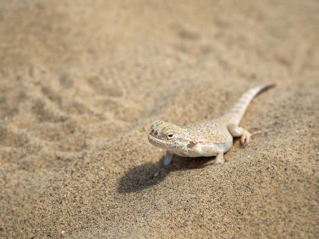 Lagarto cabeza redonda del desierto tranquilo en la arena en su entorno natural. de cerca.