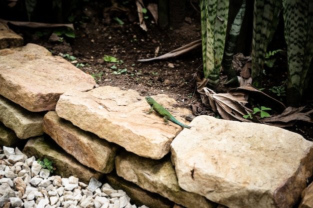 Lagarto verde arrastrándose sobre las rocas