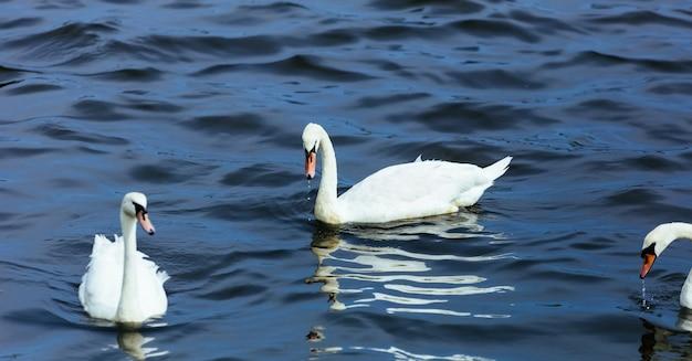 Lago de agua cisne verano