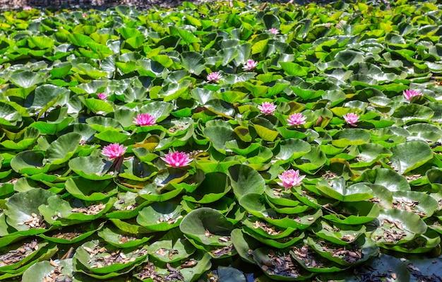 El lago está cubierto de hojas y flores de lirio de pantano.