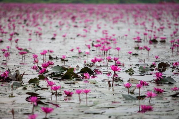 Lago del loto rojo invisible en udon thani, tailandia