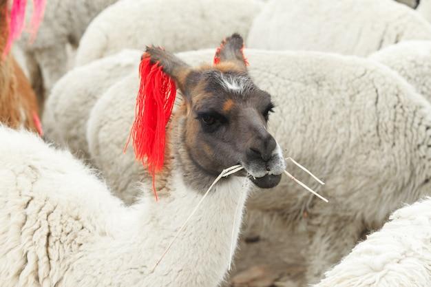 Lamas en los andes, montañas, perú