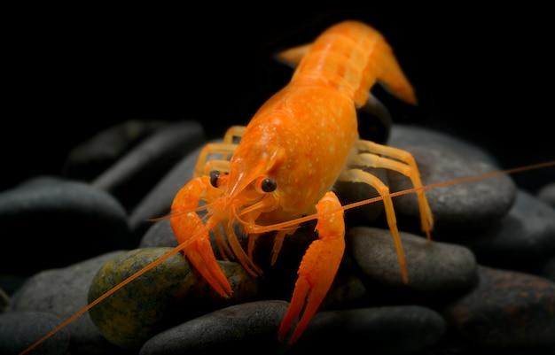 Langosta joven de cangrejo de río con pequeña roca.
