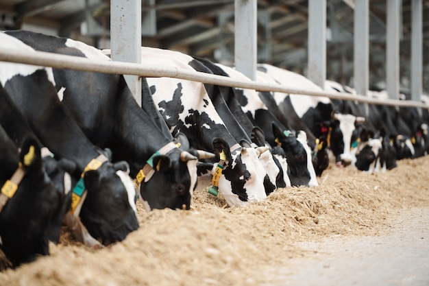 Larga fila de vacas lecheras en blanco y negro de pie detrás de la valla en el establo mientras comen heno fresco dentro de la granja de animales