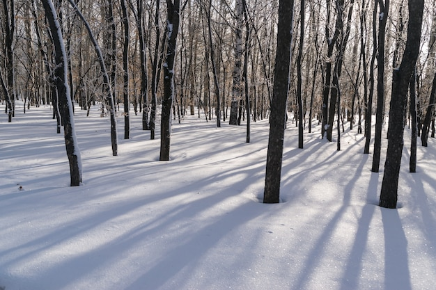 Largas sombras sobre la nieve en el bosque de invierno