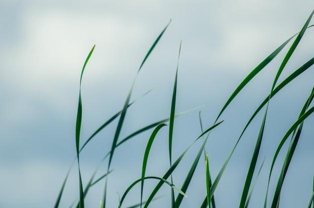 Largo verde hierba y cañas aisladas sobre fondo blanco con espacio de copia.