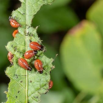 Las larvas del escarabajo de la patata de colorado devorando una hoja de papa.