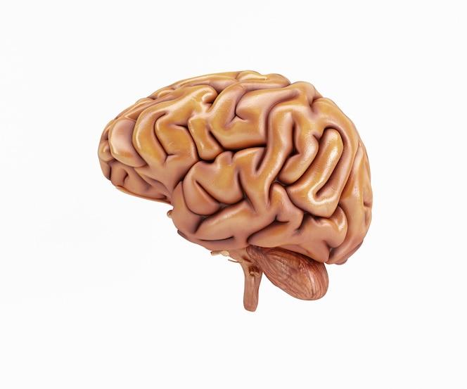 Lateral de un cerebro