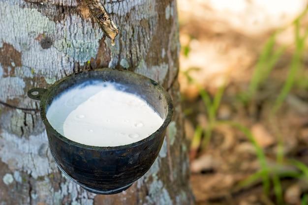 El látex de goma fluye desde el árbol hacia el recipiente y la luz del sol de la mañana.