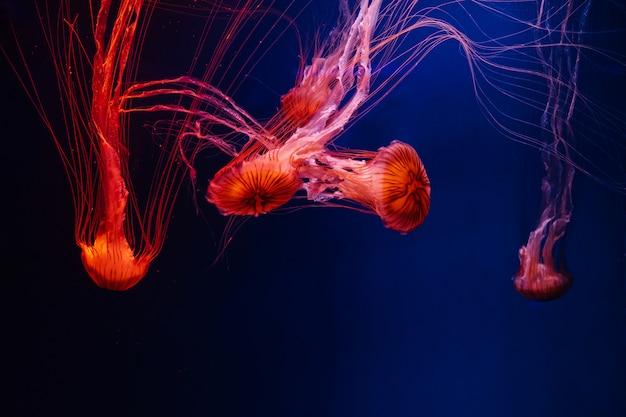 Lava de pestañas brillantes coloridas medusas brillantes en el agua oscura, fondo oscuro en el acuario