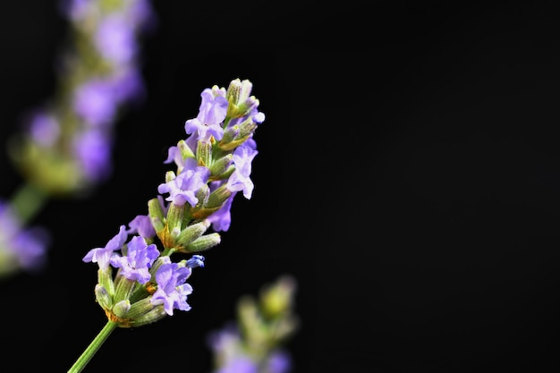 Lavanda. bellamente floreciente planta violeta - lavandula angustifolia (lavandula angustifolia)
