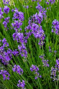 Lavanda, preciosas plantas ornamentales, silvestres con flores de color lila, azuladas, azules.