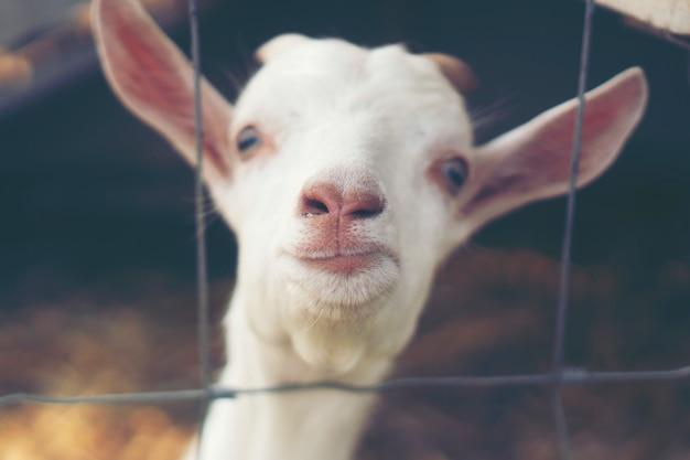 Leche de cabra en granja, leche de cabra ecológica.