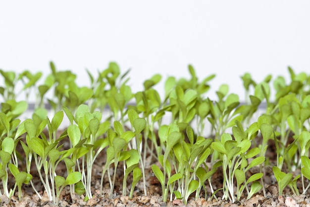 Lechuga (lactuca sativa) hermosos cotiledones de lechuga después de la germinación después de 7 días para sistema hidropónico. lima, perú
