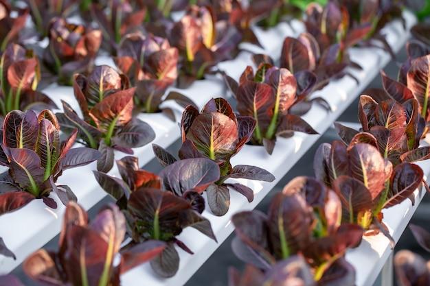 Lechuga roja cos hojas, ensaladas de cultivos hidropónicos hortícolas