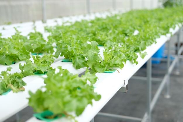 Lechuga vegetal que crece en granja hidropónica