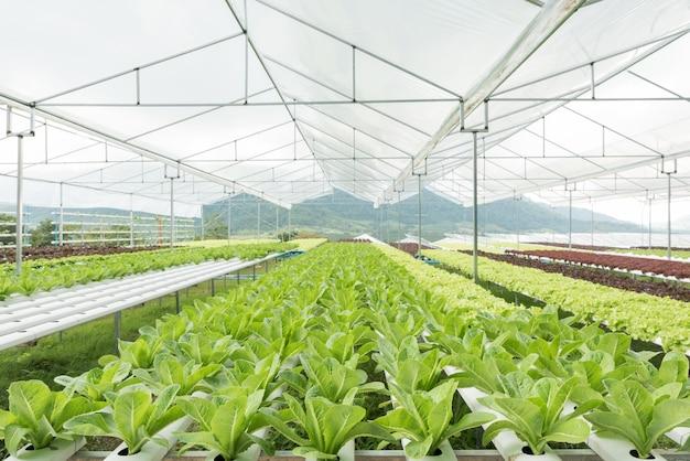 Lechuga, vegetales, en, hydroponic, granja