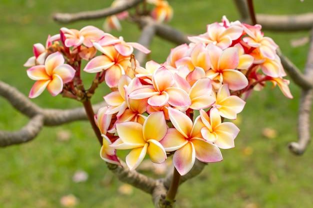 Leelawadee blanco-amarillo (plumeria pudica) en el jardín
