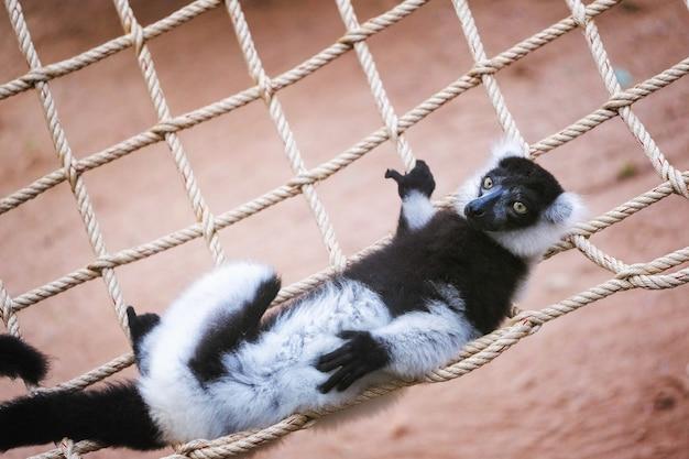 Lemur ruffed blanco y negro que se aferra a la rama