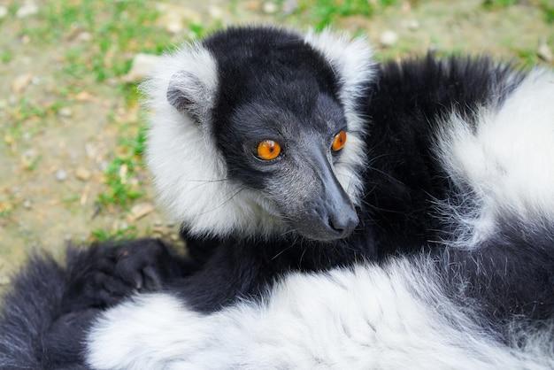 Lemur superado de madagascar retrato