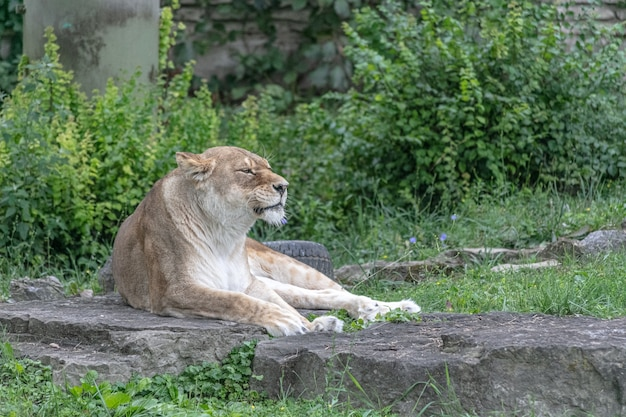 León de áfrica oriental sentado en el suelo rodeado de vegetación en un zoológico