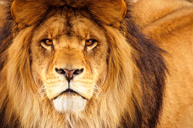 León africano macho en la cabeza mirando a la cámara