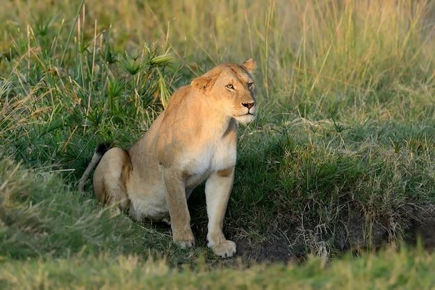 León africano en el parque nacional de sudáfrica