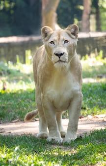 León blanco hembra caminando sobre hierba