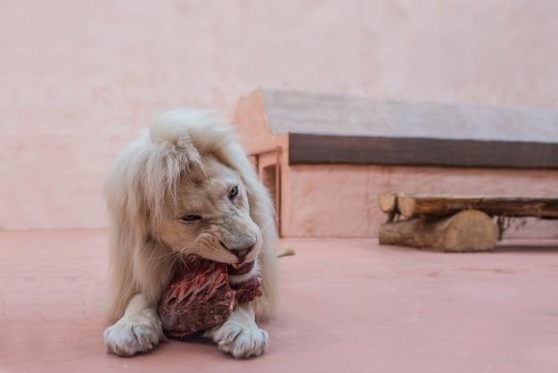 León blanco con retrato de ojos azules