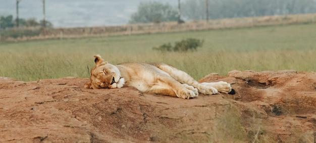 León hembra durmiendo en las rocas