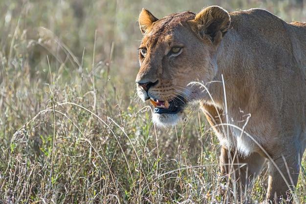 León hembra enojado en busca de presas en un campo de hierba en el desierto