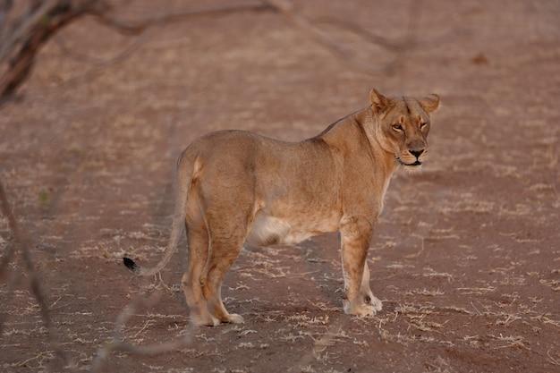 León hembra de pie sobre el suelo arenoso y mirando a la cámara