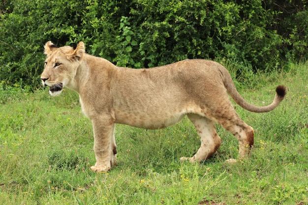 León hembra solitaria caminando en el parque nacional de elefantes addo
