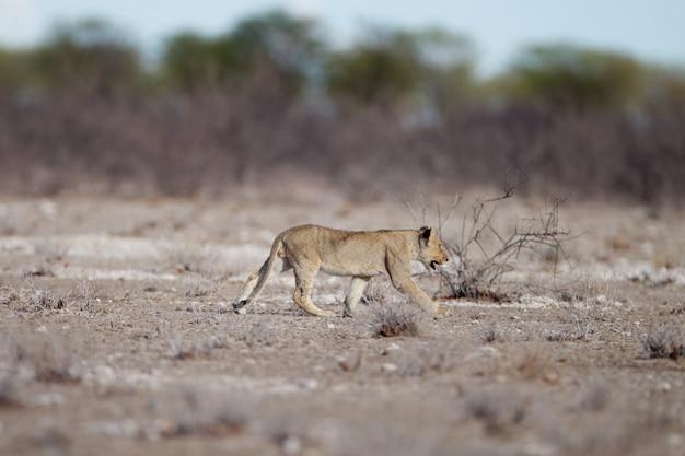 León joven caminando en el campo de la sabana