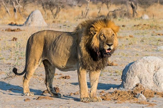 León macho al amanecer viendo