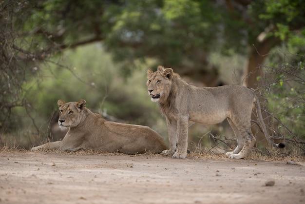 León macho y hembra descansando en el suelo con un fondo borroso